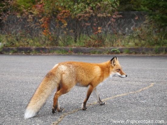 北海道 野生動物 キタキツネ