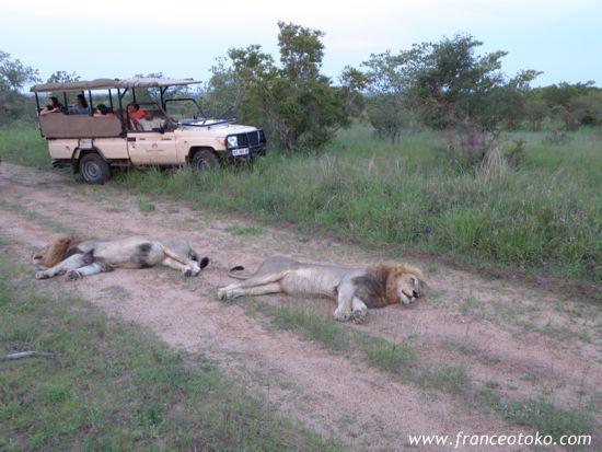 南アフリカ/クルーガー国立公園/ライオン