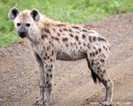 持たない私の儀式とハイエナと南アフリカ/クルーガー国立公園Kruger National Park