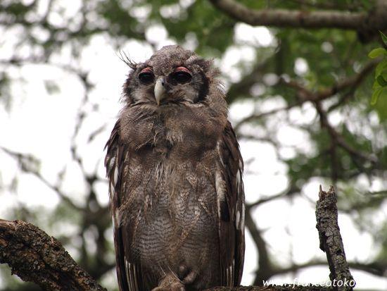 フクロウ 南アフリカ