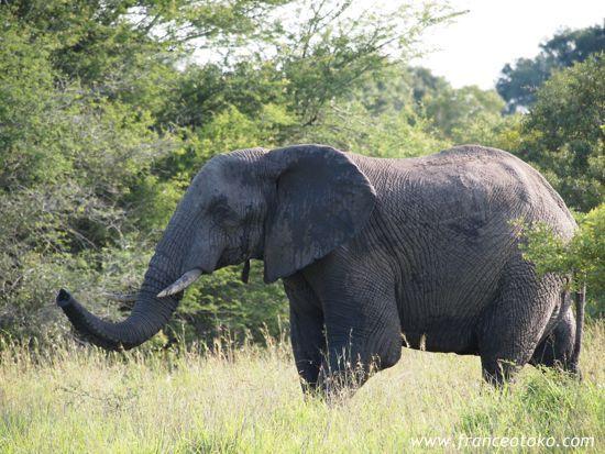 南アフリカの象