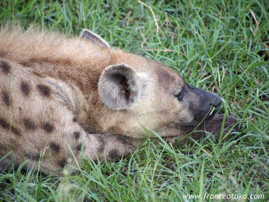 ハイエナ・南アフリカ・クルーガー国立公園Kruger National Park