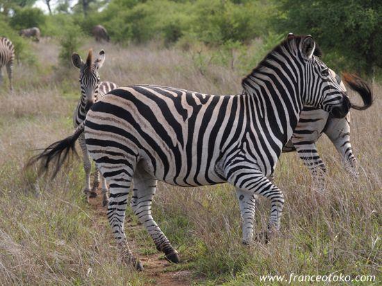 南アフリカでサファリ、クルーガー国立公園(:Kruger National Park)
