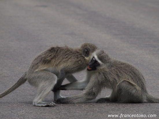 南アフリカの猿
