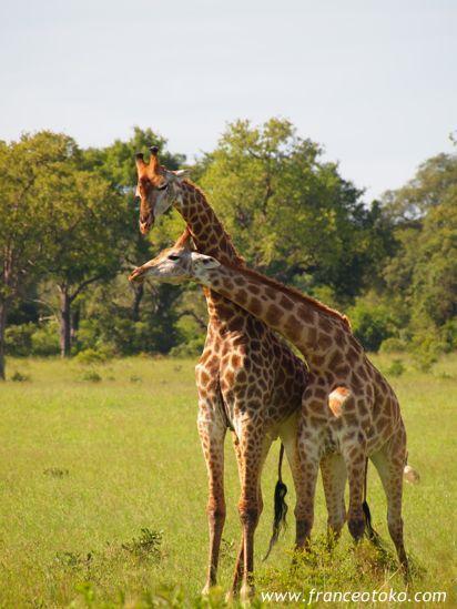 南アフリカ/クルーガー国立公園/キリン