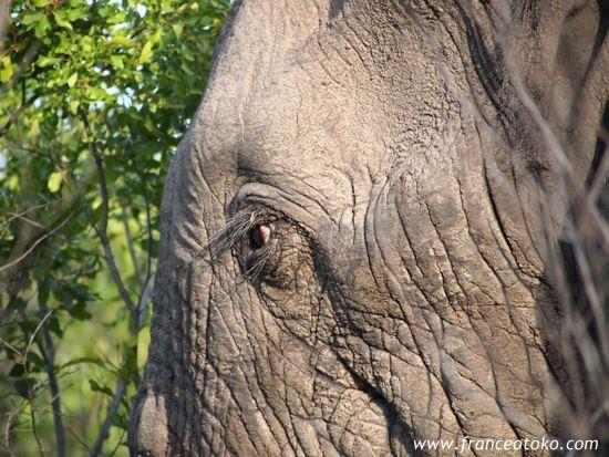 南アフリカ/サファリ/クルーガー国立公園/象