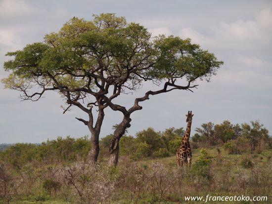 南アフリカでサファリ/キリン