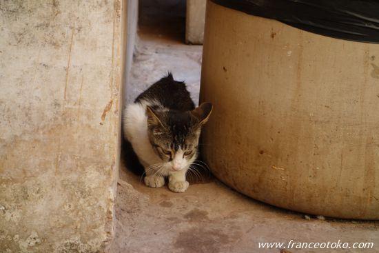 インド 猫