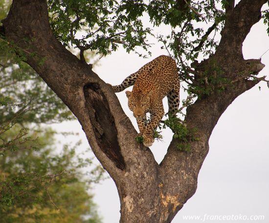 南アフリカのサファリ@クルーガー国立公園 ヒョウの写真