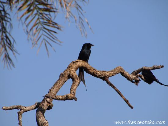 インド 鳥