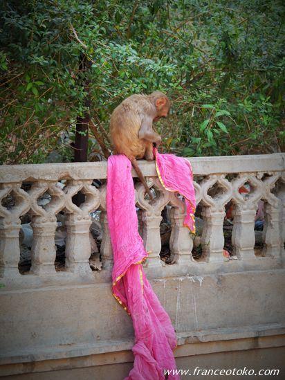 インド 猿