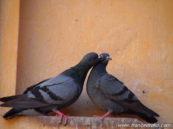 インドの鳩