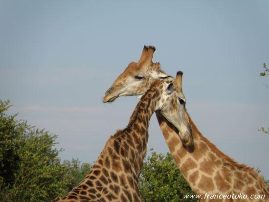野性のキリン 南アフリカ