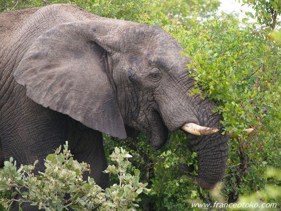 南アフリカ 象