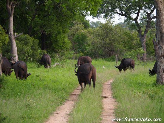 南アフリカ バッファロー