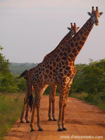 キリン/南アフリカ サファリ