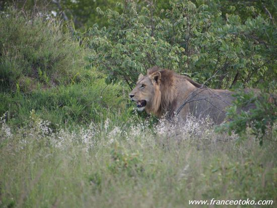 南アフリカ/サファリ/ライオン