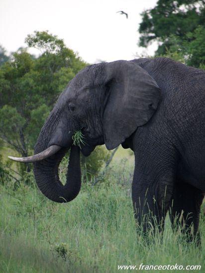 南アフリカ/サファリ/象
