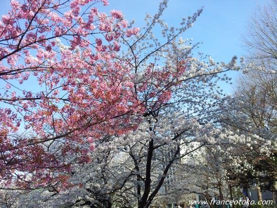 東京 桜 2014