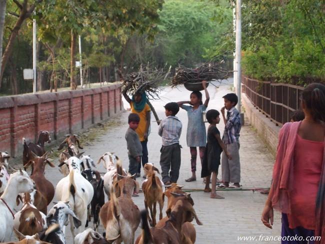 インド ヤギ
