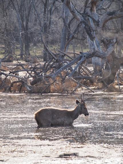 インド ランタンボール 鹿