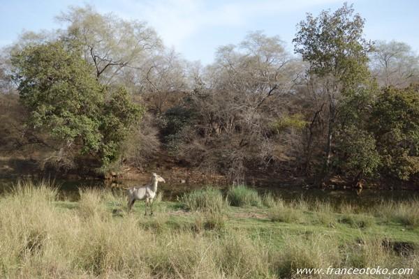 インド/ランタンボール国立公園 サファリ
