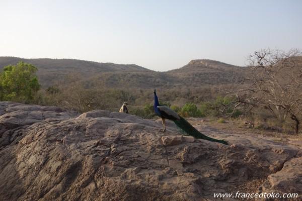 インド/ランタンボール国立公園 サファリ サル 孔雀