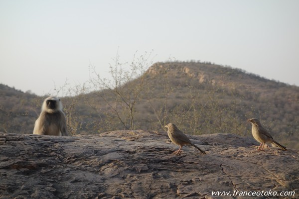 インド/ランタンボール国立公園 サファリ サル