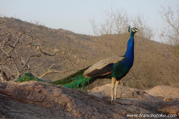 インド 孔雀