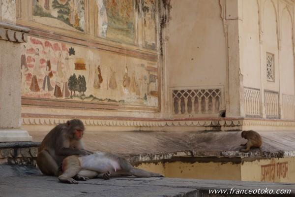Monkey Temple (Galwar Bagh) モンキーテンプル ジャイプール インドの猿