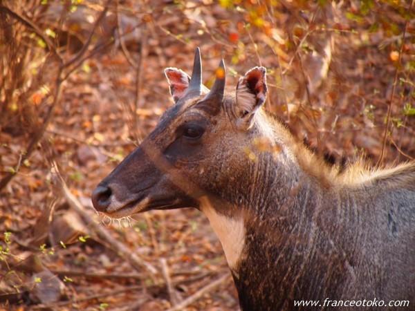 インド ランタンボール国立公園 サファリ