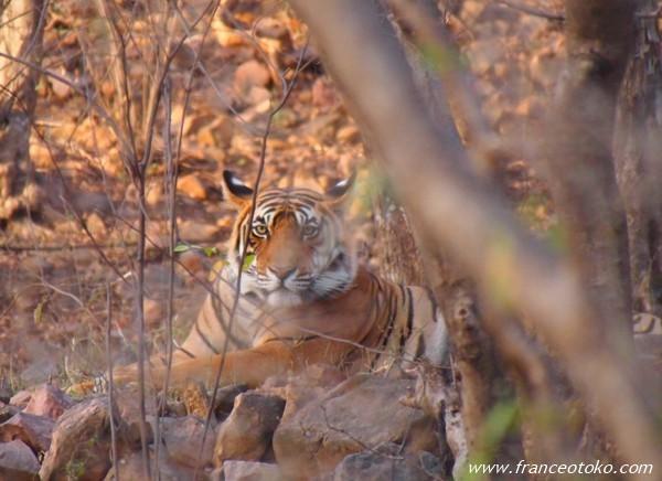 インド ランタンボール国立公園 サファリ トラ