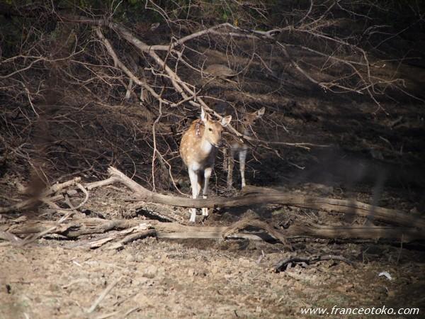 インド ランタンボール国立公園 サファリ シカ