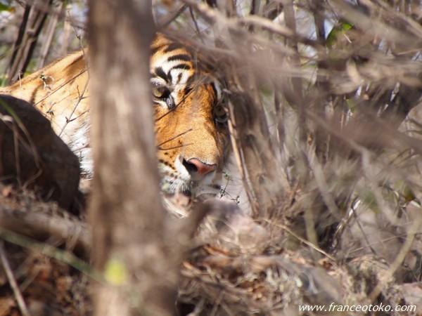 インド ラジャスタン ランタンボール トラ