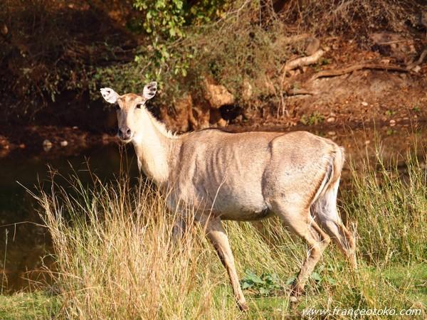 インド/ランタンボール国立公園 サファリ 動物