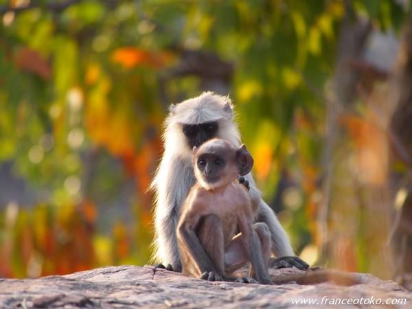 インド/ランタンボール国立公園 サファリ サル ハヌマンラグール
