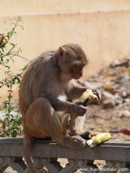 Monkey Temple (Galwar Bagh) ジャイプール・モンキーテンプル インドのサル
