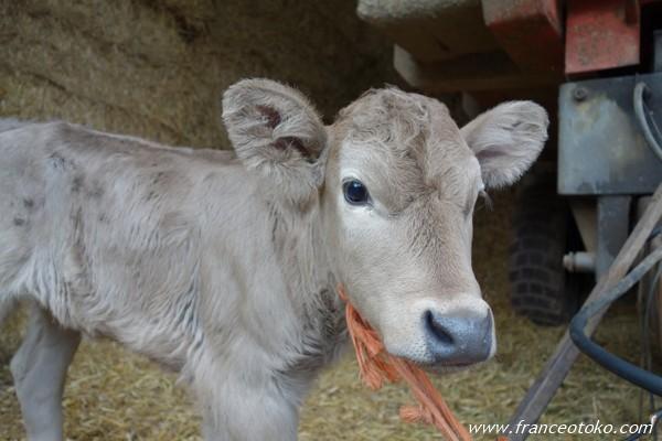 フランス 農場 フランスの仔牛