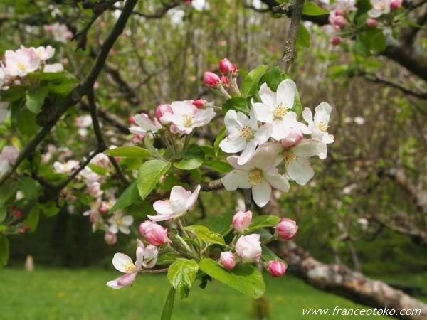 フランスの桜っぽい花