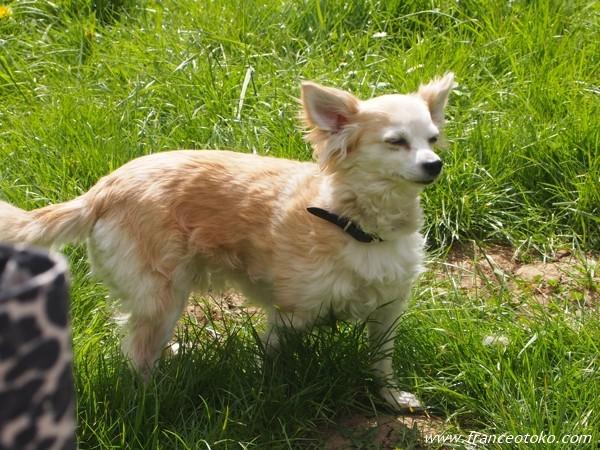 フランスの犬 チワワ