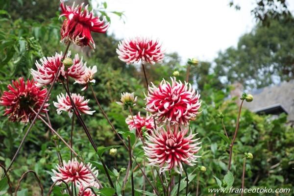 フランス 菊