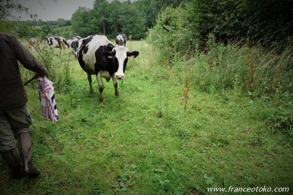ノルマンディー 牛