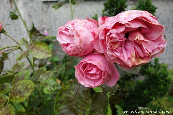 フランス バラ