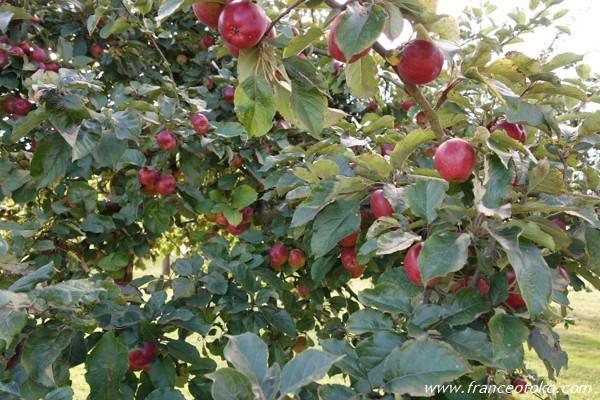 フランス リンゴ