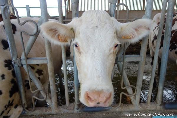 フランス 牛