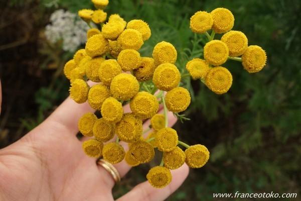 フランス 黄色い花