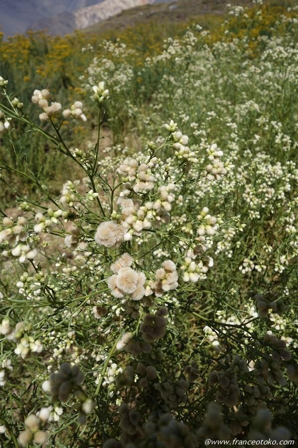 ふわふわ 白い花
