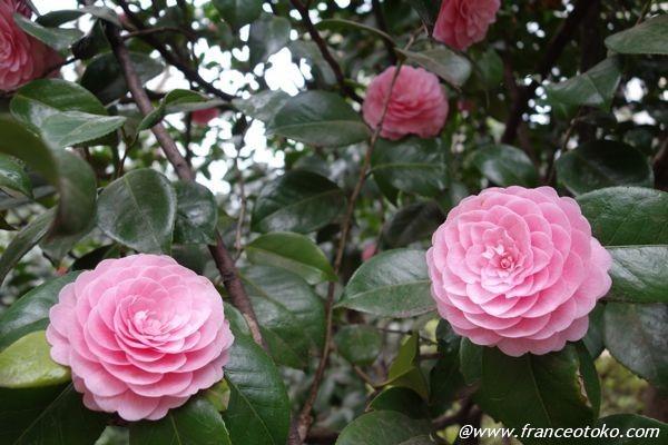 ピンク かわいい花