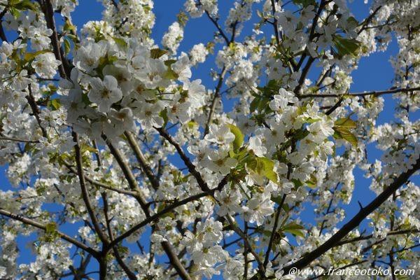 フランス 桜