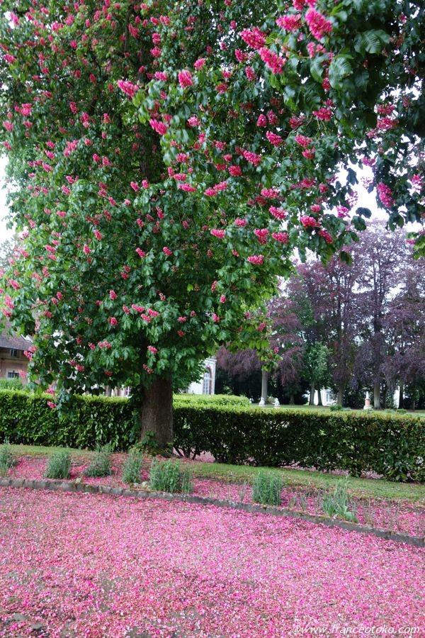 ピンクの花の木